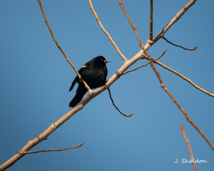 Black bird 5(s)