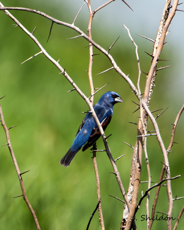 Blue Grosbeak 1(s).jpg