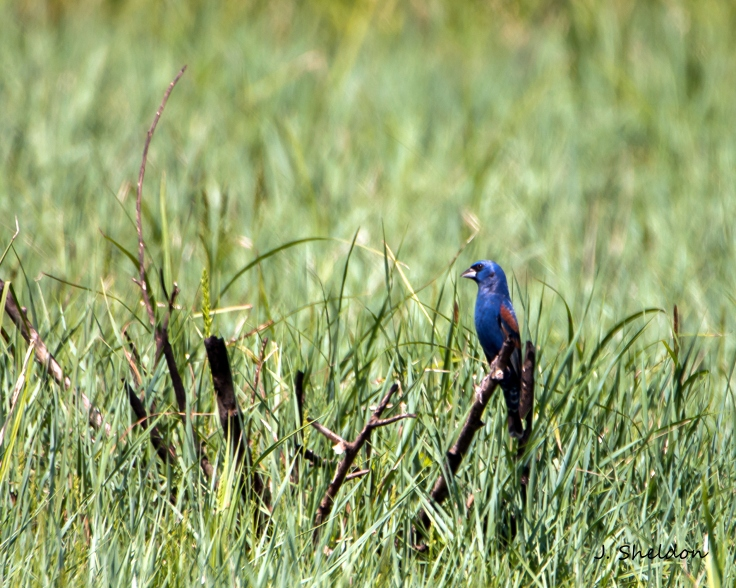Blue Grosbeak 2(s).jpg