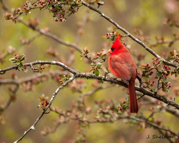 Cardinal 5(s).jpg
