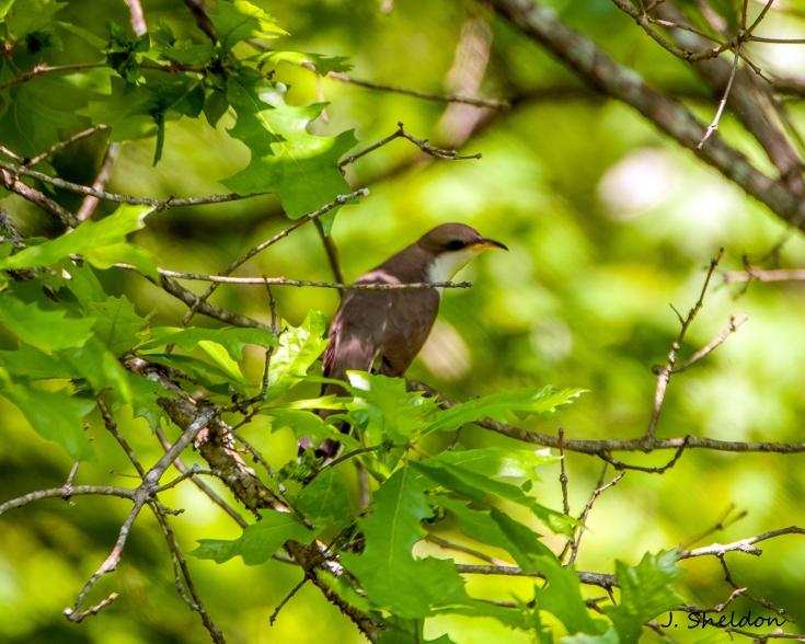 Cuckoo 4(s).jpg