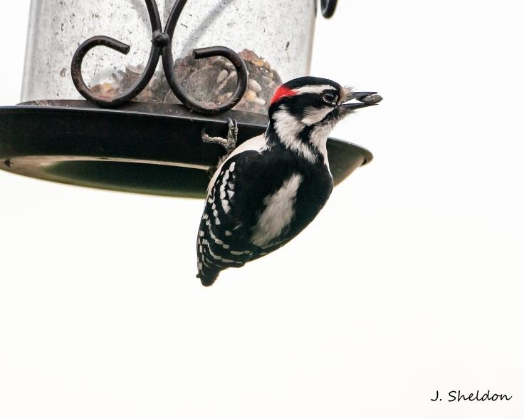 Downey woodpecker 1(s)