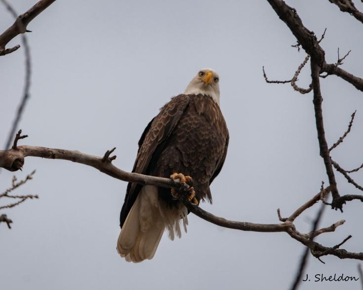 Eagle 3(s)