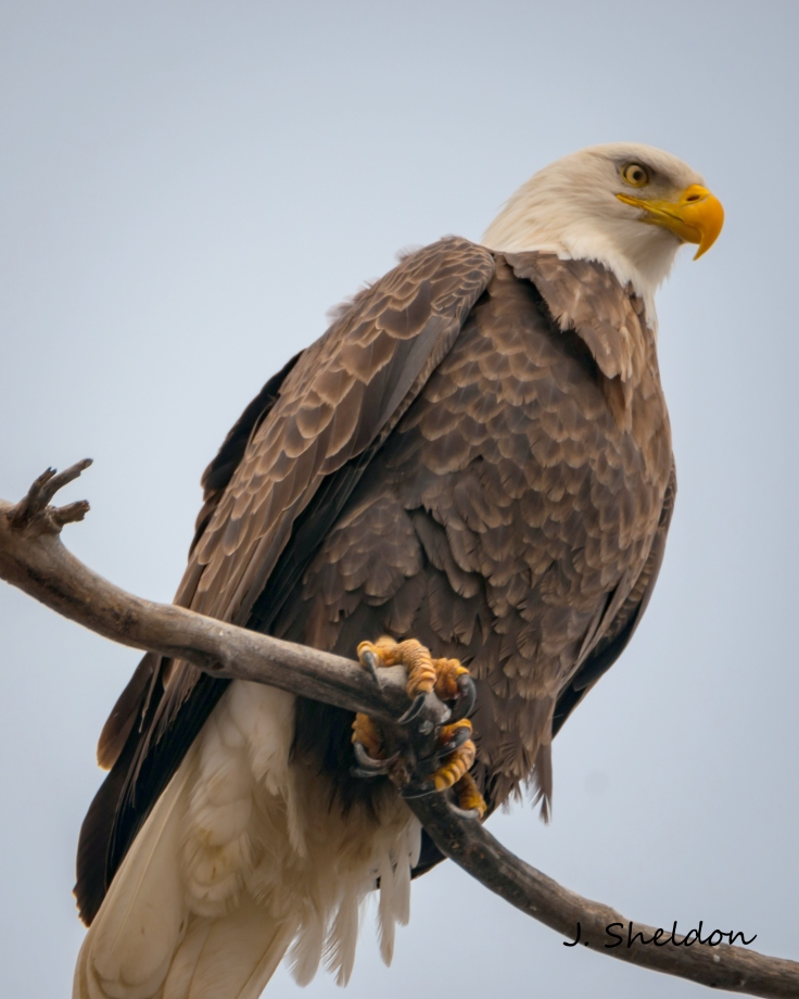 Eagle 6(s)