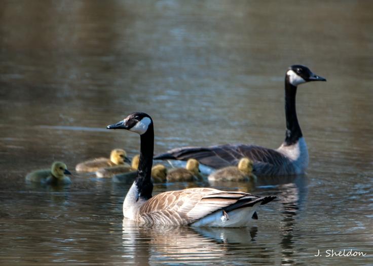 Geese 1(s).jpg