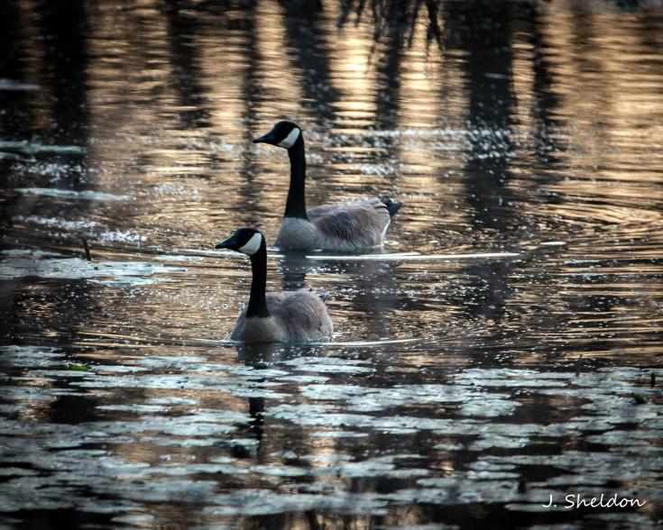Geese 2(s).jpg