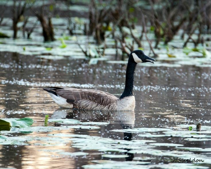 Geese 3(s).jpg