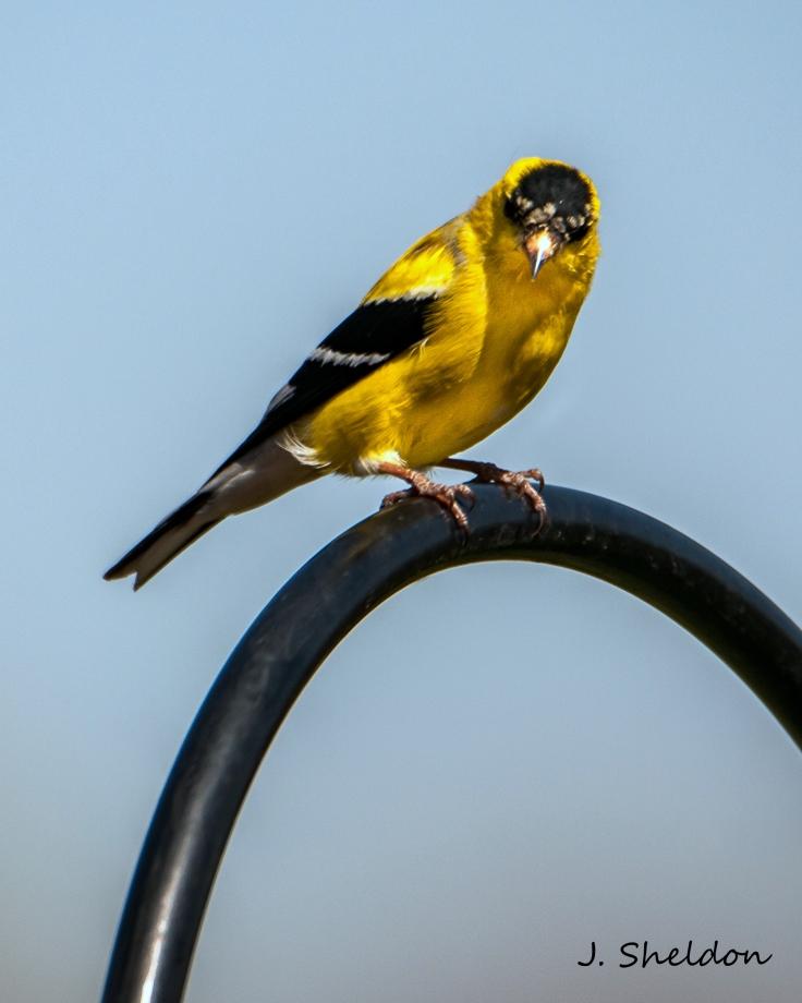 Goldfinch 1-1(s)