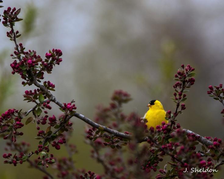 Goldfinch 2(s)