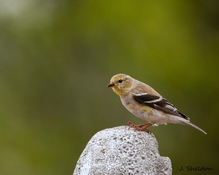 Goldfinch 4(s).jpg