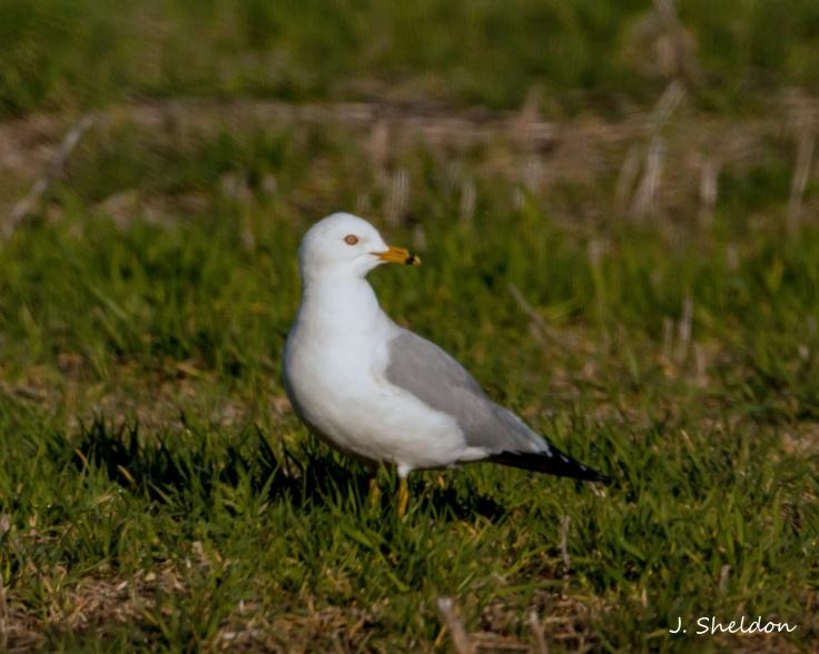 Gull 1(s).jpg