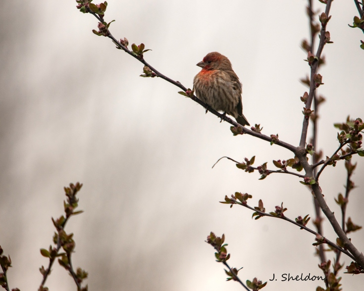 House Finch 1(s)