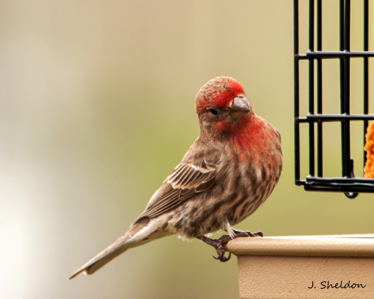 House Finch 2(s)