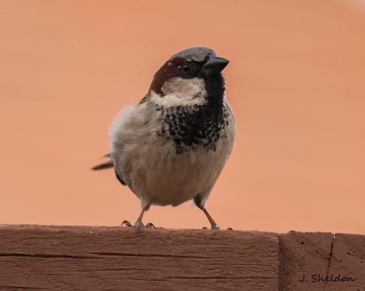 House Sparrow 3(s).jpg