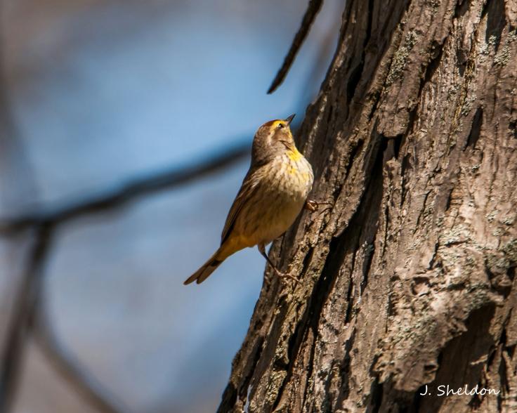 Palm Warbler 1(s).jpg