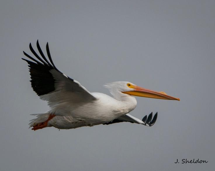 Pelican 2(s)