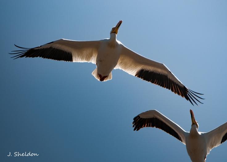 Pelican 5(s)