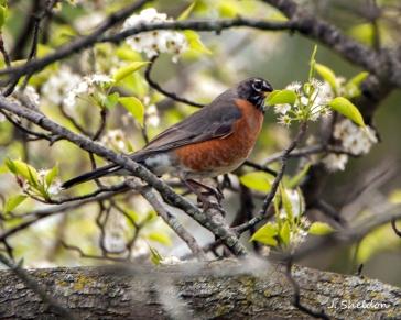 Robin 1(s)