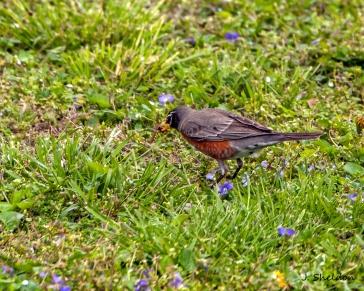 Robin 2(s)