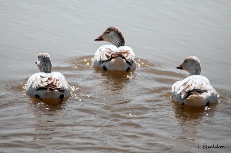 Snow Goose 4(s)