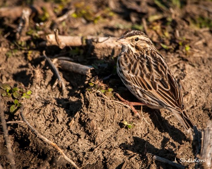 Sparrow 1(s).jpg