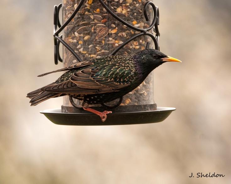 Starling 1(s).jpg