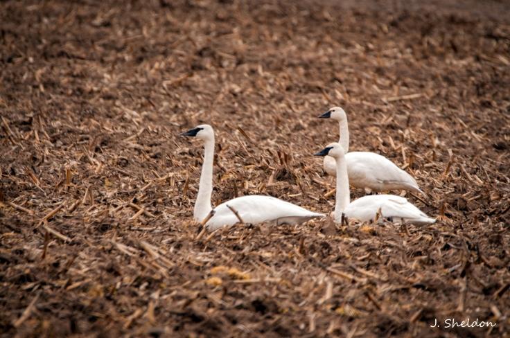 Swans(s).jpg