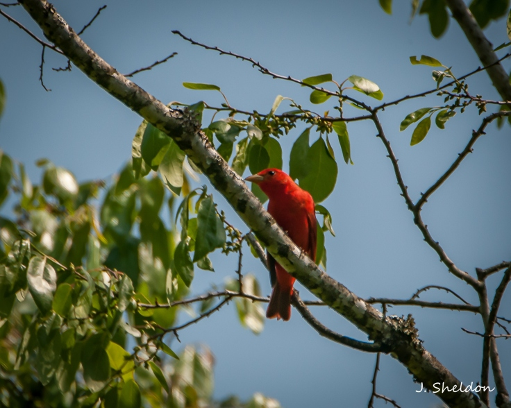 Tanager 1(s)