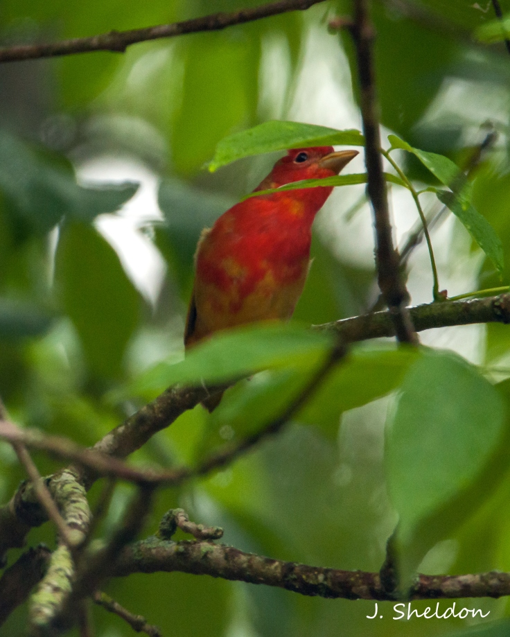 Tanager 3(s)