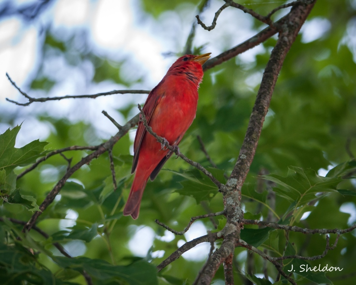 Tanager 5(s)
