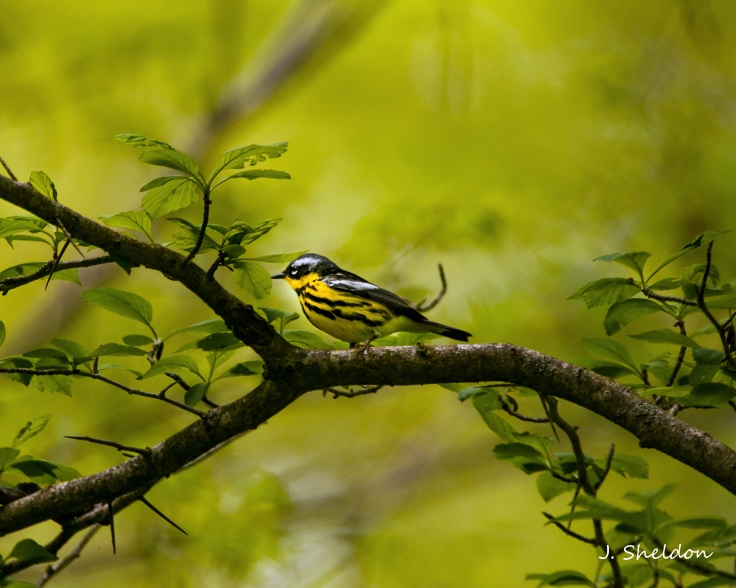 Warbler 1(s)