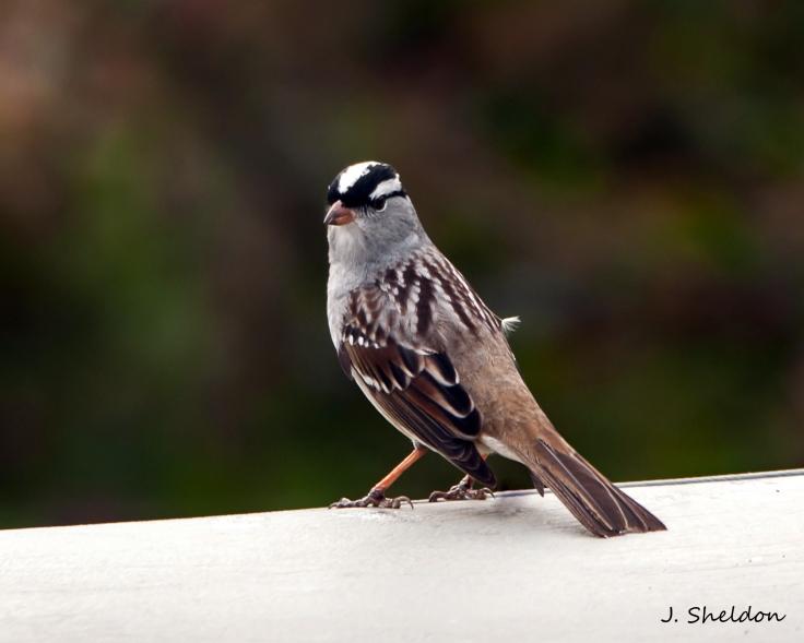White crown sparrow 1(s).jpg