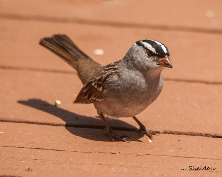 White Crowned Sparrow 1(s).jpg