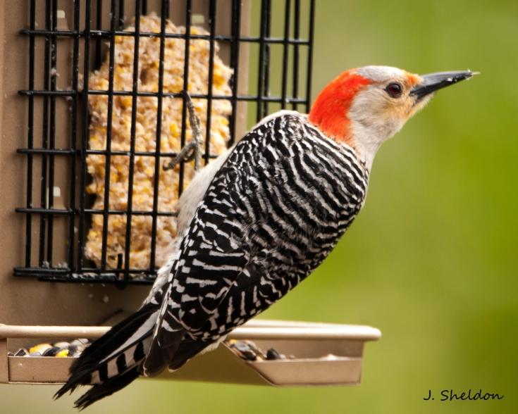 Woodpecker 3(s)