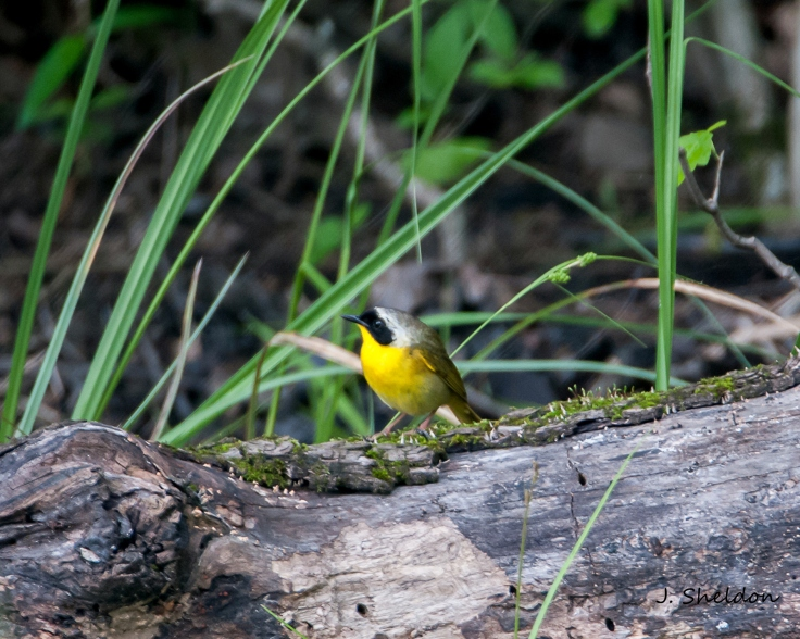 Yellow Throat 1(s).jpg