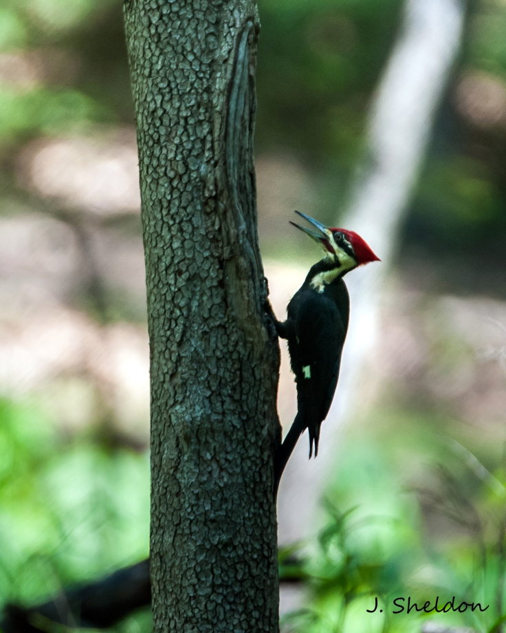 Pileated 3(s)