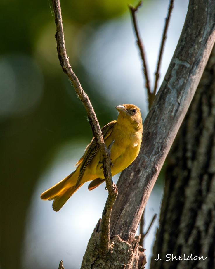 Tanager 2(s)