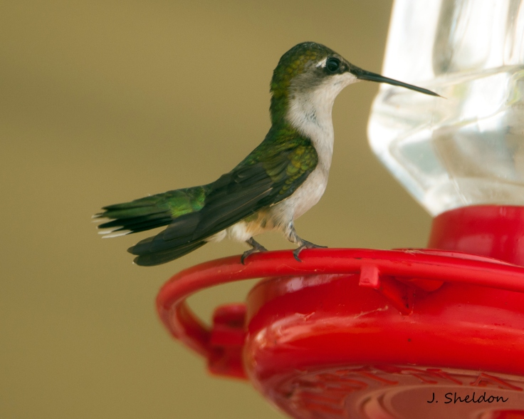 Hummingbird 2(s)