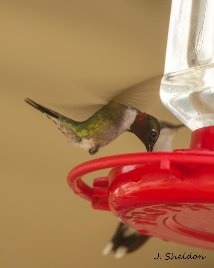 Hummingbird 3(s)