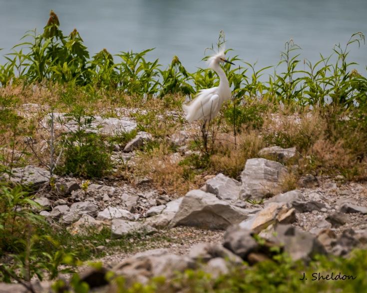 Snowy Egret 1(s)