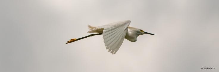 Snowy Egret 3(s).jpg