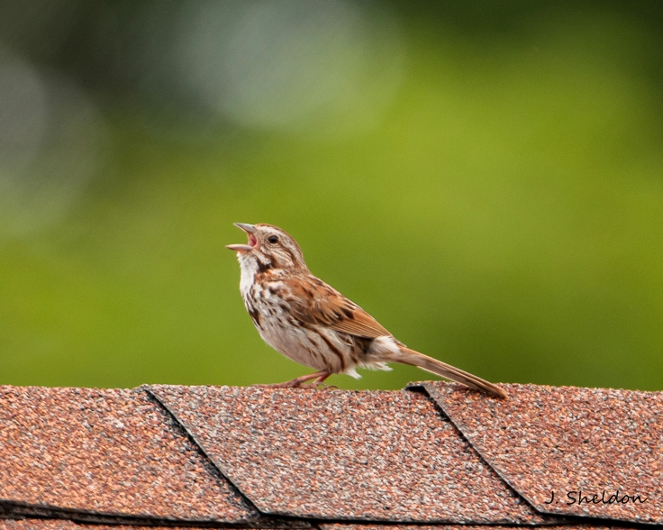 Song Sparrow 1(s)