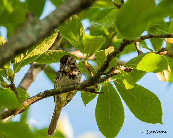 Song Sparrow 2(s).jpg