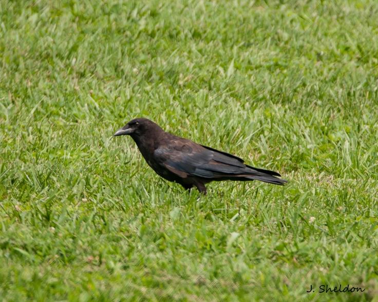 Crow 1(s).jpg