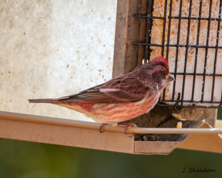 Finch 3(s).jpg