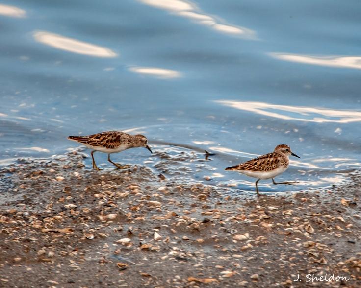 Little Sandpiper - Riverlands Oct 1.(s)jpg.jpg