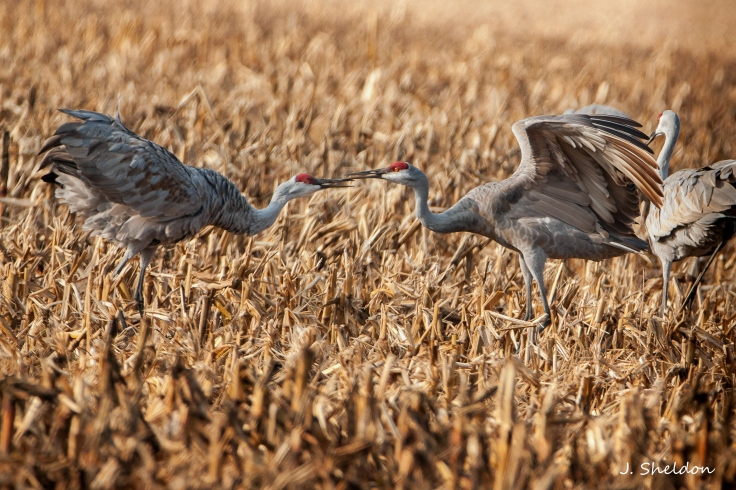 Cranes 4-3(s)