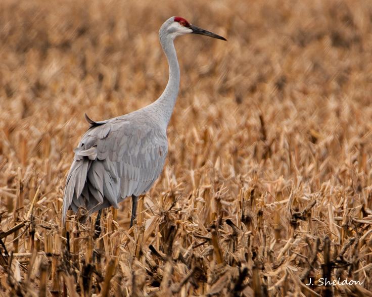 Cranes 8(s).jpg