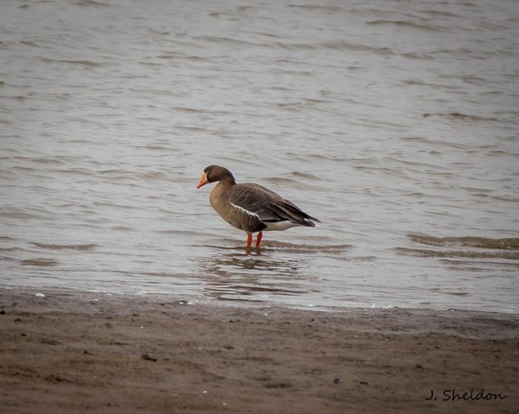 Goose 4(s).jpg