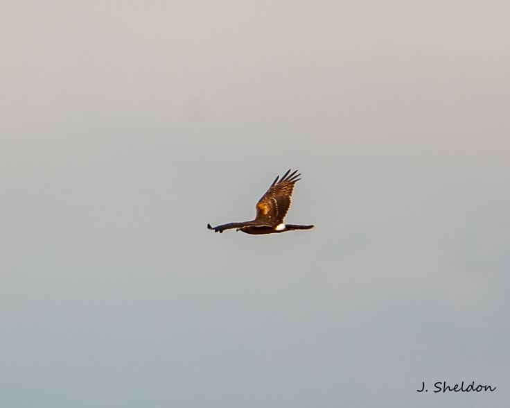 Harrier 2(s).jpg
